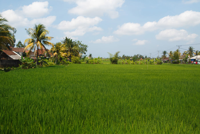 rice fields in bali indonesia